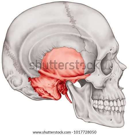 The temporal bone of the cranium, the bones of the head, skull. The individual bones and their salient features in different colors. Lateral view. Foto stock ©