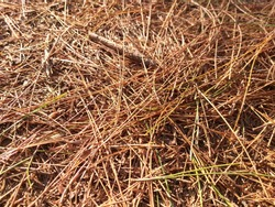 The Texture of dry grass under sunrise. Fallen yellow pine needless and pine cones on the ground.