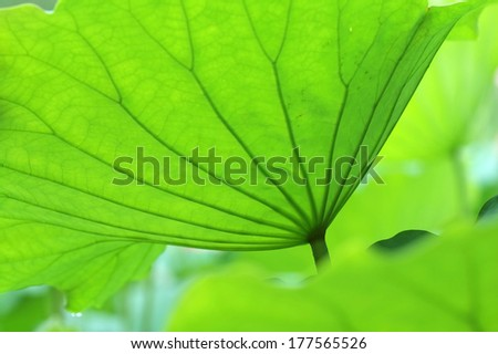 The texture of lotus leaves under sunshine