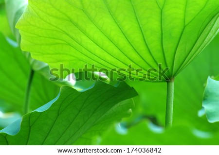 The texture of lotus leaves under sunshine viewing from bottom
