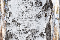 The texture of the bark on the trunk of a birch grove in the forest closeup