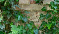 The texture of the old brick wall entwined with ivy. Georgia country. Kutaisi city