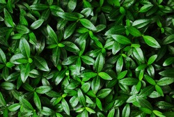 The texture of young foliage on a shrub. Close-up Dense glossy leaves of oblong shape.