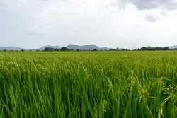 The Thai paddy field, fresh and green background