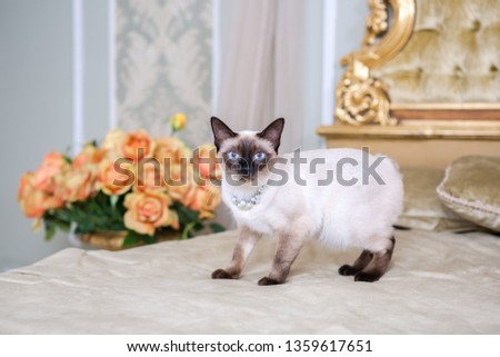 The theme of luxury and wealth. Young cat without a tail purebred bobtail Mecogon is on the big bed headboard near the Renaissance Baroque pillow in France Europe Versailles Palace. #1359617651
