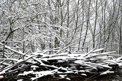 the thin branches of trees in the young forest are covered with white sn