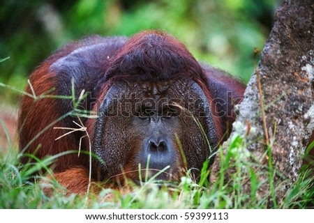 The thoughtful. The male of the orangutan has a rest under a tree and observes of tourists.