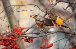 the thrush bird eats the sweet red Rowan berries in autumn Park