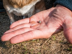 The tick engorged with blood moves on the man hand close up, swollen tick stirs in the palm of a man removed from the dog. The dog is trembling from the stress due to the extraction of the tick