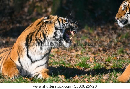 the tiger, a feline with a striped fur #1580825923