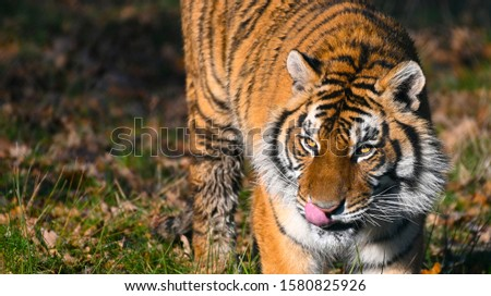 the tiger, a feline with a striped fur #1580825926
