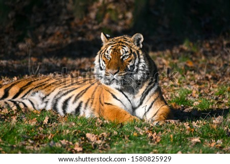 the tiger, a feline with a striped fur #1580825929