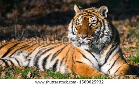 the tiger, a feline with a striped fur #1580825932