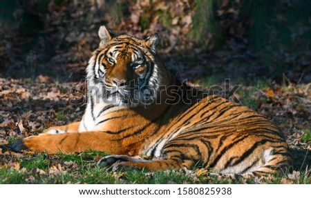 the tiger, a feline with a striped fur #1580825938
