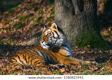 the tiger, a feline with a striped fur #1580825941