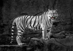 The tiger Asia.