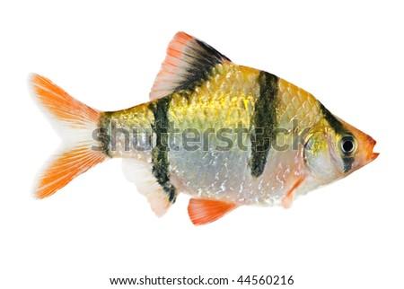 The Tiger Barb Fish, Sumatra Barb (Puntius Tetrazona). Stock Photo ...