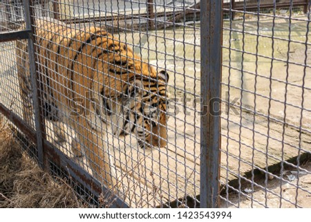 The tiger goes behind bars. Predators of the Belogorsk Safari Taigan Park. #1423543994