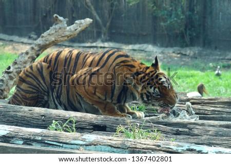 The tiger is a fierce predator. #1367402801
