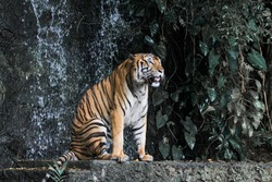 The tiger is sitdown and show tongue in front of mini waterfall