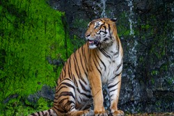 The tiger is sitdown and show tongue in front of mini waterfall at thailand