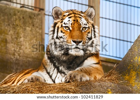The tiger lies in a zoo open-air cage