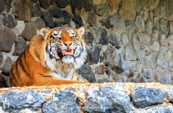 The tiger lies with a formidable grin near a stone wall exposing sharp yellow fangs and growls menacingly.
