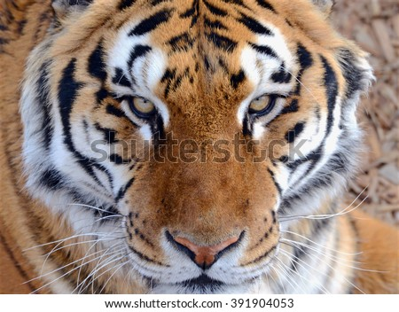 Shutterstock The Tiger, once common in many areas of Asia, Russia and the Middle East, has become an endangered species, threatened in its native range with only a fraction of its original poulation remaining