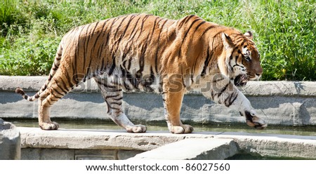 "The tiger (Panthera tigris), a member of the Felidae family, is the largest of the four ""big cats"" in the genus Panthera."