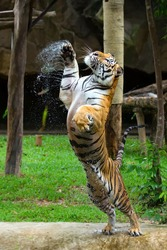 The Tigers are going to eat in the wild.