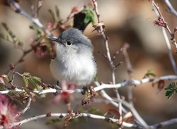 The tiny American bird, Blue Gray Gnatcatcher ( Polioptila caerulea ) perched on a twig, front facing, clearly showing the white eye ring, and its breast feathers highlighted by the sun.