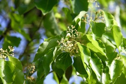 The tiny flower foliage of the blooming Comphor Tree (Cinnamomum camphora)