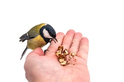 The tit eats nuts from a palm, isolated on white background. A tit bird sitting on the hand and eating nuts.