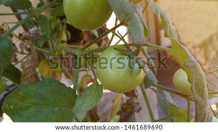 The tomato is the edible, often red, berry of the plant Solanum lycopersicum, commonly known as a tomato plant. The species originated in western South America and Central America