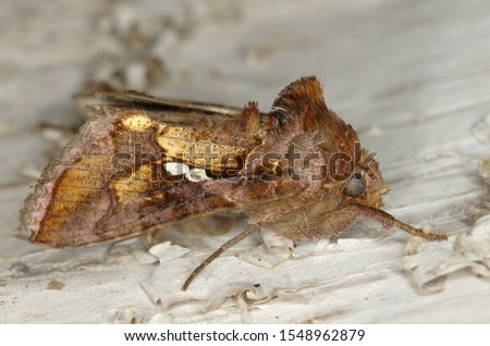 The tomato looper, a noctuid moth (Chrysodeixis chalcites, Noctuidae, Plusiinae)