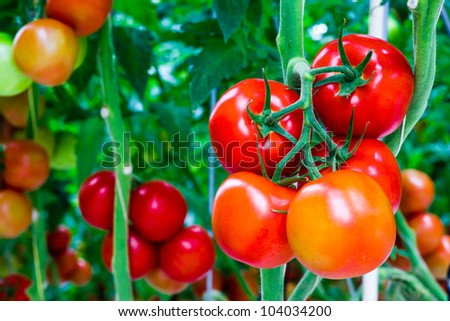 The tomatoes are ripe and ready for the harvest