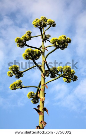 The top of a blooming agave plant.
