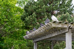The top of a park gazebo made of wooden planks. A row of pigeons are perched on the edge of the structure. All birds are grey with the exception of the first pigeon which is stark white.