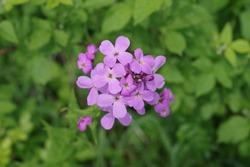 The top of a purple woodland flower Hesperis Motronalis Dames Rocket growing in a field along a hiking trail in New Jersey