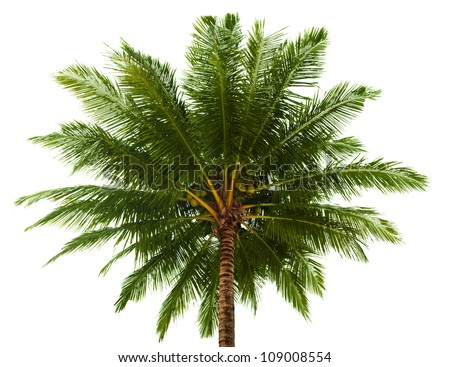 The top of the coconut palm isolated on white background