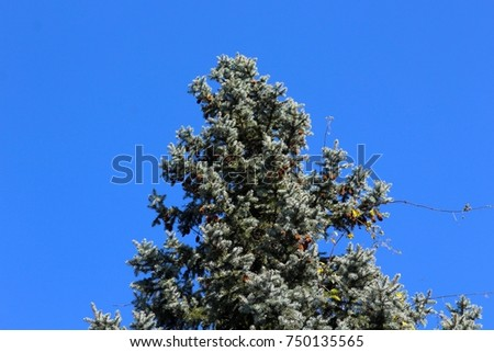 The top of the pine tree with the pine cones and the blue sky as the background. #750135565