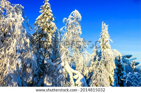 The tops of fir trees in the snow. Winter snow scene. Snow covered trees in winter forest