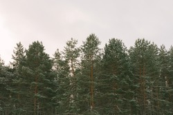 The tops of pine trees in snow