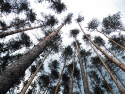 The tops of tall pines in the forest against a cloudy sky. Bottom view