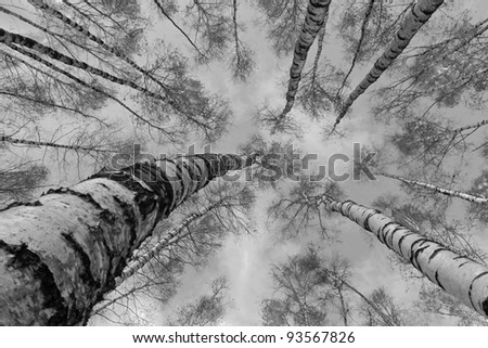 The tops of the birch trees against of the sky (black and white) - Russia