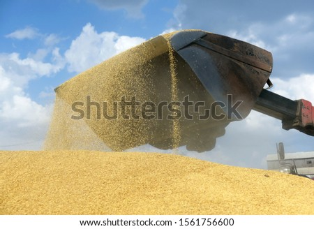 The tractor loads the grain with a large bucket in a pile. #1561756600