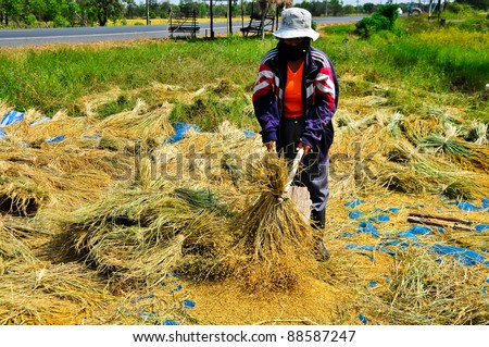 The traditional way of threshing grain in northeast of Thailand.