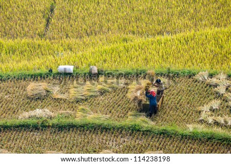 The traditional way of threshing grain in Yen Bai, Northwest of Vietnam, local young couple harvesting.
