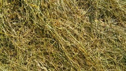 the trampled grass is yellow-green, Golden and brown texture, in the forest underfoot bent straw