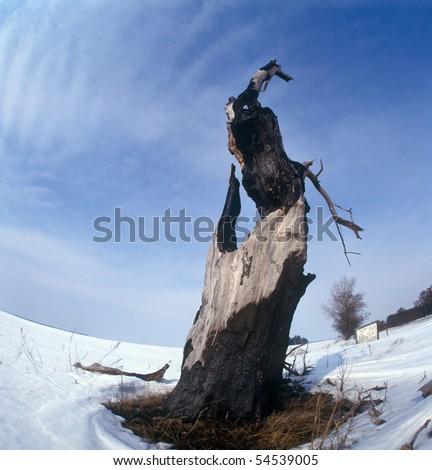 The tree burned out by lightning. Winter. Chernigiv region, Ukraine.